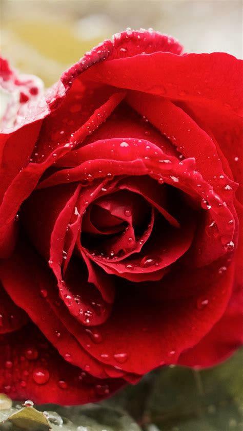 wallpaper 4k rose beautiful red rose 4k wallpapers hd wallpapers id 18647