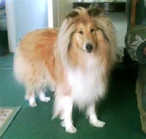 Rough collie adoption related keywords amp suggestions rough collie