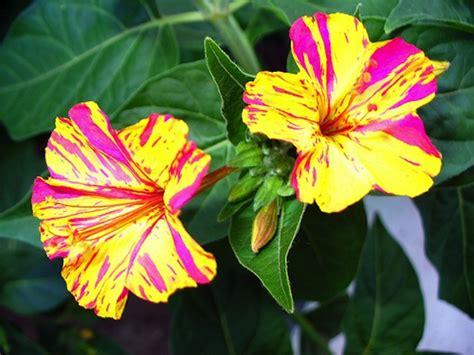 fiore di notte di notte coltivazione