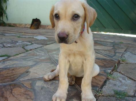 cachorro labrador filhote de  meses   em