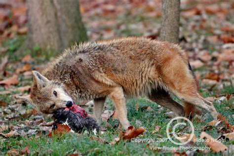 Coyote In Backyard by Coyote In Backyard Ate The Neighborhood Cat Warning