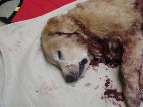 golden retriever 10 years kill 12 year golden retriever st pete fl patch