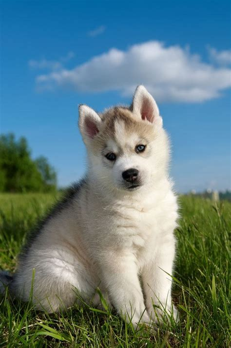 husky puppy names siberian husky names for unique huskies