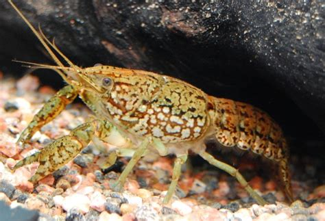 Where Were The Marble Crayfish Descoverd - ミステリークレイフィッシュの豆知識
