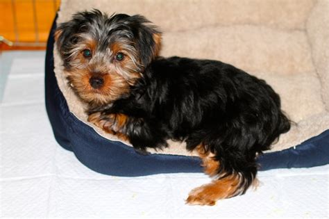 3 lb yorkie we a new boy in our house make ahead meals for busy