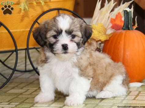 shichon puppies for sale in pa autumn shichon puppy for sale in paradise pa puppies puppies for
