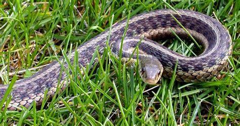 Garter Snake How To Get Rid Of by Garden Snake Kill 28 Images How To Get Rid Of Garter