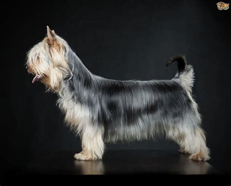 silky yorkie puppy terrier or australian silky terrier which is best for you pets4homes