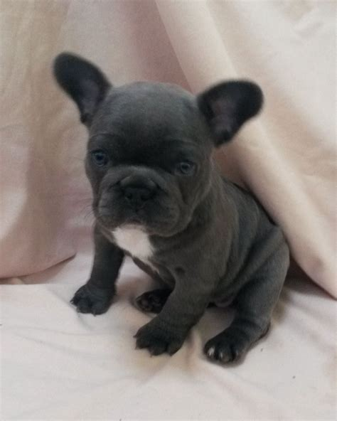 blue bulldog puppies for sale reduced blue gene bulldog for sale lincoln lincolnshire pets4homes