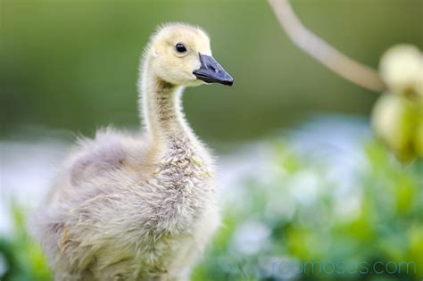baby gosling geese rob moses photography
