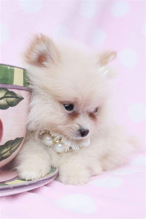 pomeranian puppies for sale in cedar rapids iowa 112 best images about loulou de pomerany on american eskimo teddy