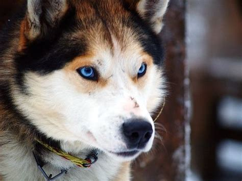 wolf husky puppies with blue eyes view topic across the vast tundra open chicken smoothie