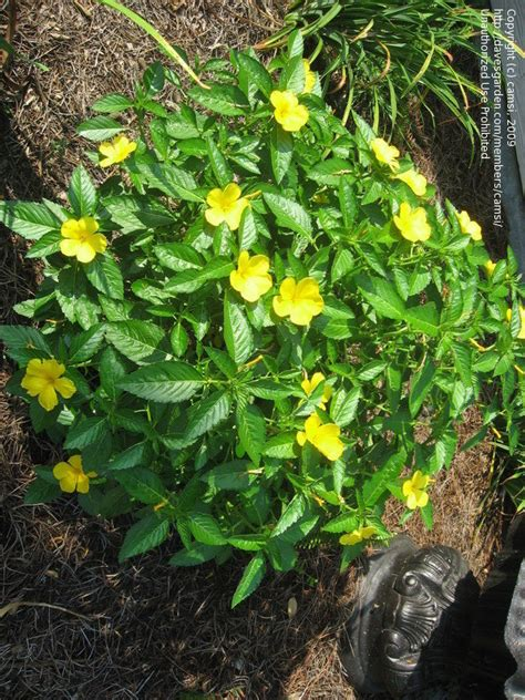 yellow flower shrub plant identification closed green shrub with yellow