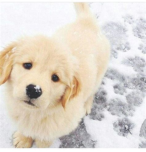 golden retriever puppy not 25 best ideas about golden retriever puppies on retriever puppies