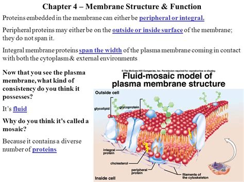 4 proteins in cell membrane chapter 4 membrane structure function ppt