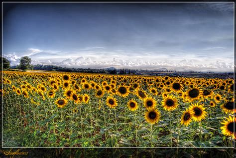 italia fiori sfondi fiori panorama co italia vista giallo
