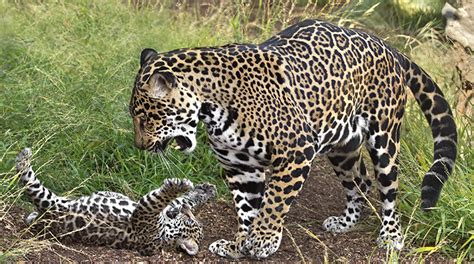 how many babies does a jaguar jaguar pictures