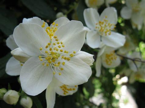 gelsomino fiori secchi gelsomino piante in giardino gelsomino