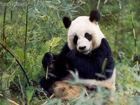 www panda animals wildlife panda picture nr 10420