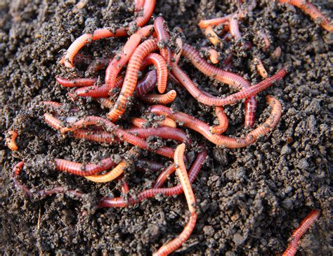 best compost worms eco buzz composting with worms without a backyard