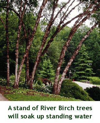 river birch tree images  pinterest