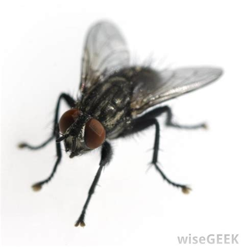 Flies In House by How Do I A House Fly Infestation With Pictures