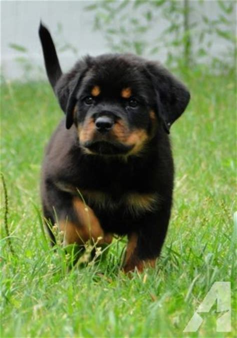 rottweiler puppies for sale in ny german rottweiler puppies for sale in rocky point new york classified