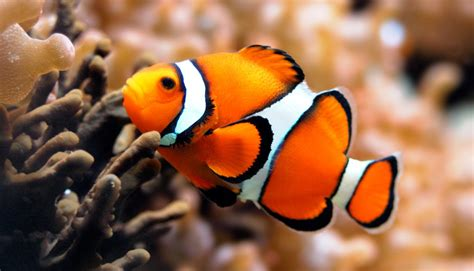 la chachipedia el pez payaso apexwallpaperscom pez payaso