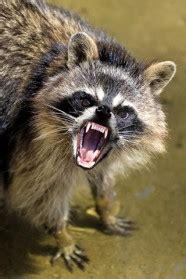 angryraccoon – the angry raccoon simulator | angryapps