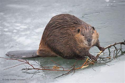 beavers life mates beaver animals beautiful wise animals