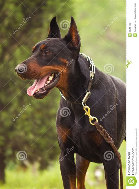 how to your doberman to be a guard doberman pinscher royalty free stock image image 33518436