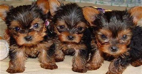 teacup yorkie diapers black yorkie teacup puppies animals yorkie yorkie teacup puppies