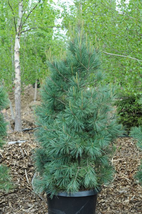 Small White Trees For Sale - pine southwestern white creekside tree nursery