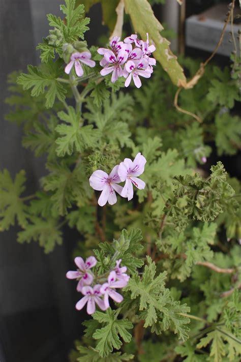 pelargonium graveolens images useful tropical plants