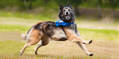how to your for flyball safe exercises for your eukanuba