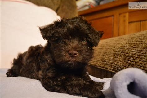 havanese puppies new jersey havanese puppy for sale near south jersey new jersey 4337965b efb1
