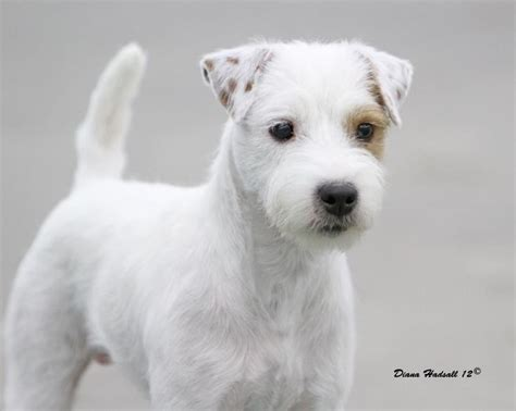 haircut ideas for long hair jack russell dogs long haired jack russel our willow s breed jack