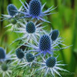 Best Fragrant Plants - perennials for and dry locations arts nursery ltd