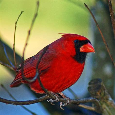 winter garden northern cardinal and cardinals on pinterest
