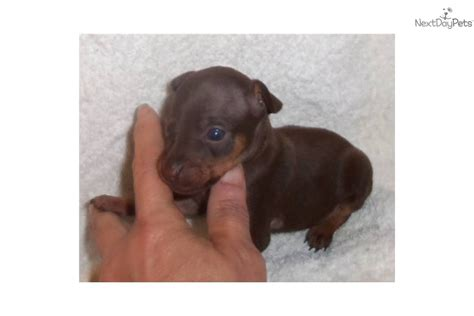chocolate miniature pinscher puppies for sale miniature pinscher puppy for sale near eastern co colorado 5a0188fe 2b61