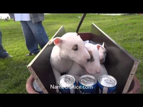 what of is spuds mackenzie spuds mackenzie puppies for sale at venice calif dec 15 2013