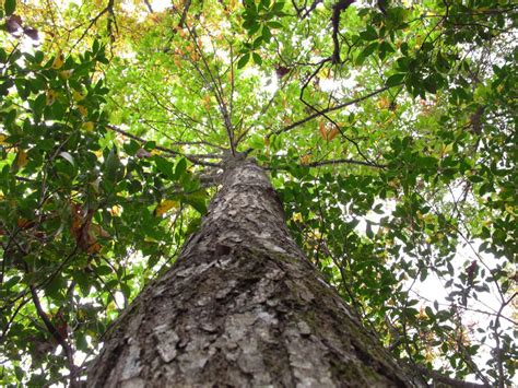 new genetically engineered american chestnut will help