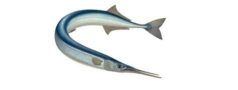 cucinare aguglia specie ittiche in cucina aguglia