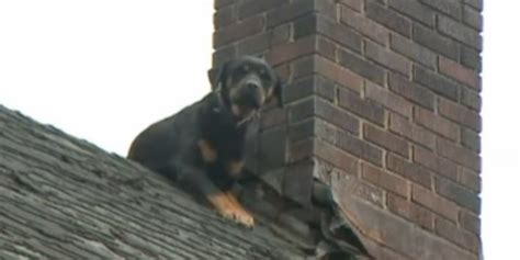 dog on roof firefighters rescue dog stranded on roof for several days