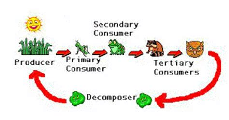 how does the food chain work