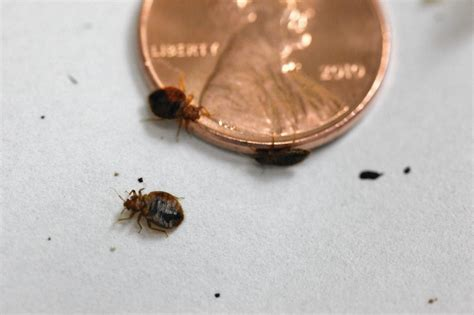 bed bugs color bedbugs are drawn to certain colors orlando sentinel