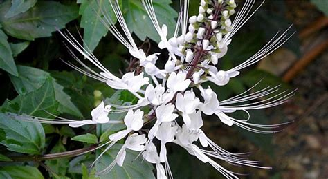 Obat Herbal Kumis Kucing obat herbal manfaat dan khasiat tanaman kumis kucing