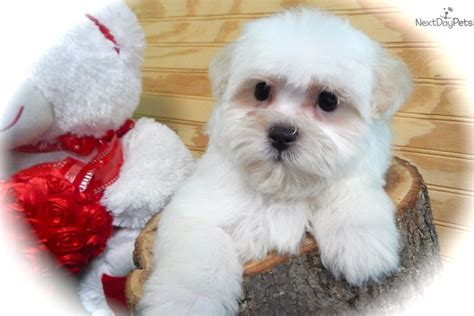 maltipoo puppies for sale illinois maltipoo malti poo maltipoo puppy for sale near chicago