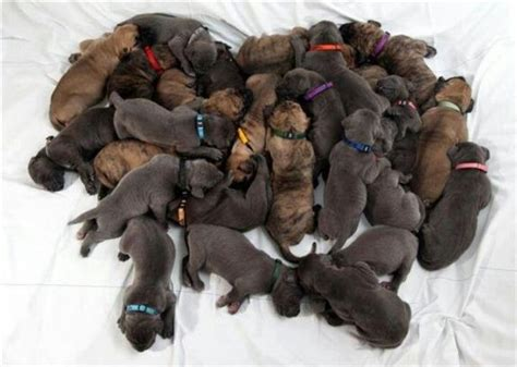 lots of puppies that s a lot of puppies animals