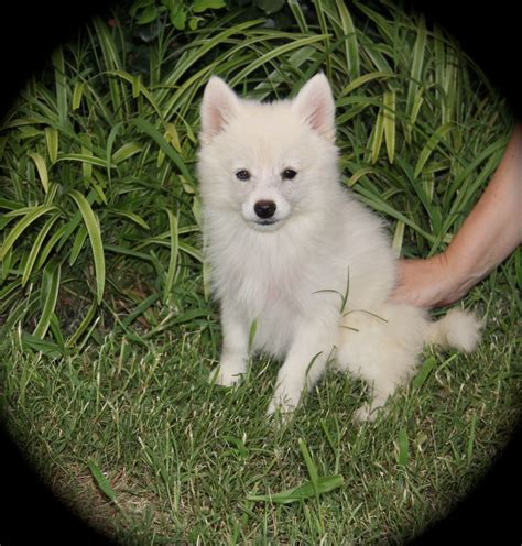pics of pomsky puppies white pomsky puppy www pixshark images galleries with a bite